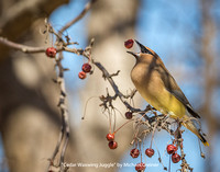Cedar Waxwing Juggle by Michael Greiner - Previously Entered Color Print