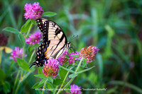 "4th Place Digital Color By Michael Greiner - ""Swallowtail Butterfly"""