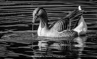"HM Digital BW By Carol Blair - ""Grey Lag Goose"""