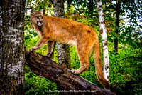 "1st Place Digital Color By Ron Nicolls ""Cougar"""