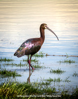 "1st Place Color Print By Carol Blair - ""White Faced Ibis"""