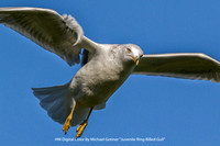 "HM Digital Color By Michael Greiner ""Juvenile Ring-Billed Gull"""