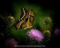 "HM Color Print By Carol Blair - ""Giant Swallowtail on Thistle"""