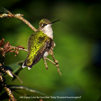 "HM Digital Color By Carol Blair ""Ruby Throated Hummingbird"""