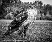 "4th Place Digital B&W By Ron Nicolls ""Red Tail Hawk"""