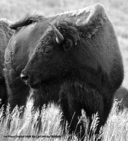 "1st Place Digital B&W By Carl Hardy ""Buffalo"""